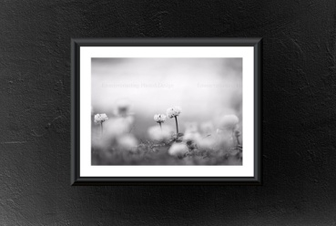 Emmieverlasting: Svart/hvit bilde av kløver, fotografert helt nede på bakken Str. A3 http://epla.no/handlaget/produkter/800315/