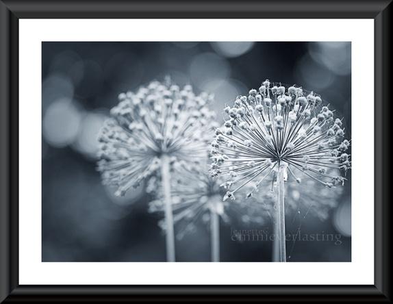Emmieverlasting: I'm Allium . Foto A3 http://epla.no/handlaget/produkter/802489/