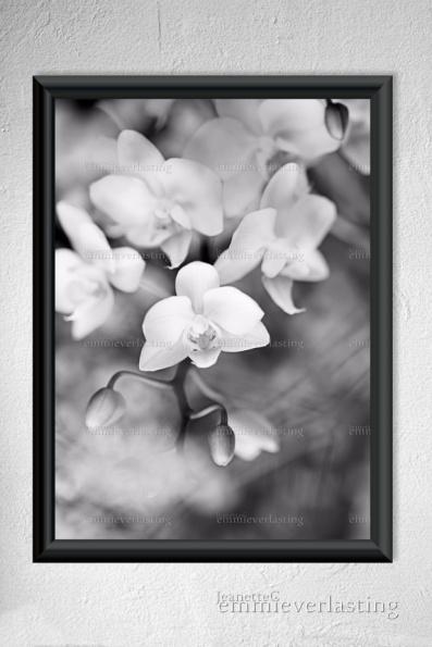 EMMIEVERLASTING: Orchid. Foto A3 https://www.epla.no/handlaget/produkter/845871/